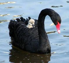 Black Swan and chick...adorable.