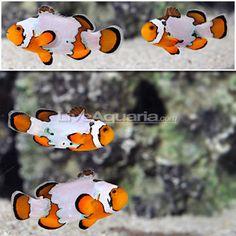 Snowflake Clownfish, real beauties