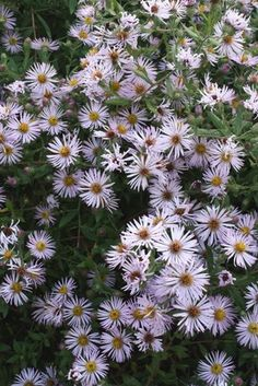A wonderful plant for the fall garden! Plant on fences or trellis.  More of a cottage garden plant than for a formal garden.   Aster,buy Carolina Climbing Aster for sale,Plants on-line-Plant Delights Nursery, Inc.