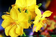 Hoa mai vàng thường là món quà tặng dịp Tết đến Xuân về vô cùng sang trọng và ý nghĩa