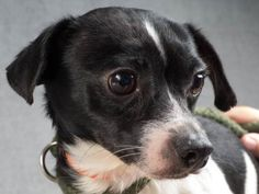 Adopt Wilson, a lovely 1 year Dog available for adoption at Petango.com.  Wilson…