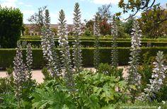 Acanto-Acanthus, florecido a comienzos de la primavera.