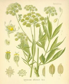 LOVAGE  G/P/E: Masculine, Sun, Water.   Magical uses:Add the dried and powdered root to cleansing and purification baths to release negativity. Carry to attract love and the attention of the opposite sex.