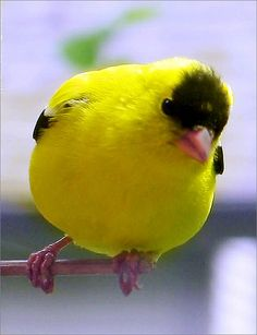 American Goldfinch (Carduelis Tristis), also known as the Eastern Goldfinch. The Wild Canary is a small North American bird from the Finch family. Kinds Of Birds, All Birds, Cute Birds, Pretty Birds, Little Birds, Beautiful Birds, Exotic Birds, Colorful Birds, Goldfinch