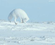 F&O Fabforgottennobility — gifaknet: (Video: Fluffy Arctic Fox Struggles to...