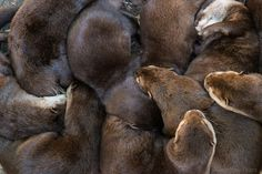 baby otter cuddle party :o)
