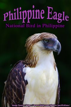 One of the largest and most endangered eagles in the world, the Philippine Eagle is only found on four islands in the Philippines. Is it too late to save the king of the Philippine rainforest? All Birds, Little Birds, Birds Of Prey, Angry Birds, Pretty Birds, Beautiful Birds, Animals Beautiful, Exotic Birds, Colorful Birds