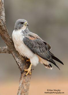 No autographs, please Pretty Birds, Love Birds, Beautiful Birds, Animals Beautiful, Raptor Bird Of Prey, Birds Of Prey, Big Bird, Wild Birds, Bird Watching