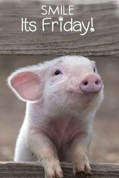 It's Wilber the Pig! Love, Your little piglet! Animals And Pets, Baby Animals, Funny Animals, Cute Animals, Animal Babies, Pet Pigs, Baby Pigs, Photo Animaliere, Teacup Pigs