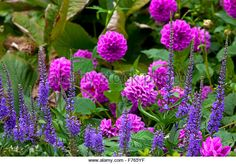 Purple dahlias and lavender plants growing in a garden in late summer - Stock…