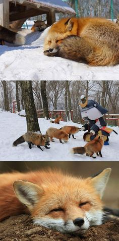 Oh my goodness! This little fox village in Japan must be one of the cutest spots on the earth! Since in Japan foxes are believed to bring luck, there is a special fox sanctuary inJapan's Miyagi Prefe