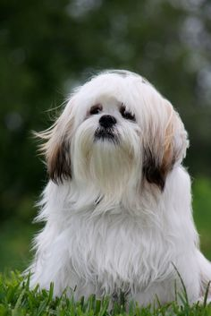 #VetsSherbourne The first Lhasa Apsos were seen in the Western world around 1930, with some of the first dogs arriving as gifts of the 13th Dalai Lama. The breed was admitted into the AKC's terrier group in 1935, but was reassigned to the nonsporting group in 1959.