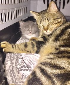Cat Comforts Orphaned Kitten and Teaches Him How to Cuddle Every Day...