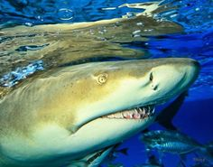 Lemon Shark: Can grow to 10 feet long. This stocky, powerful shark is named for its pale yellow-brown to grey skin, which lacks any distinctive markings. This provides perfect camouflage when swimming over the sandy seafloor in its coastal habitat. It has a flattened head with a short, broad snout, and the second dorsal fin is almost as large as the first. The lemon shark is found mainly along the subtropical and tropical parts of the Atlantic and Pacific coasts of North and South America.