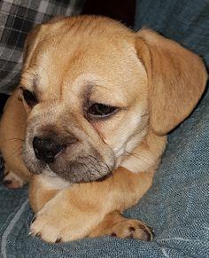 Baby Pugs, French Bulldog, Labrador Retriever, Dogs, Animals, Pug Puppies, Labrador Retrievers, Animales, Animaux