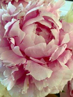 Exotic Flowers, Amazing Flowers, Pink Flowers, Beautiful Flowers, Flower Close Up, Shabby Flowers, Gras, Pink Peonies, Flower Photos