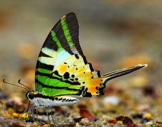 Five-bar Swordtail butterfly (Graphium antiphates), found in South Asia.  This and many more fantastic images on I_Love_Butt20210's Flickr photostream