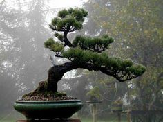 Japanese Black Pine Bonsai Tree: How old do you think I am?  I hold my age very well.....
