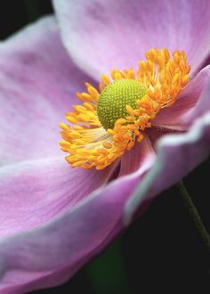 Anemone hupehensis Flowers Garden Love