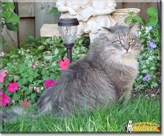 Read Smokey the Maine Coon Cat's story from Ontario, Canada and see his photos at Cat of the Day http://CatoftheDay.com/archive/2013/July/06.html .