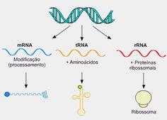 6- A  partir do DNA são transcritos vários tipos de RNA: O RNA que leva a mensagem do DNA (RNA mensageiro), o RNA que transporta aminoácidos  (RNA transportador) e o RNA que compõe com proteínas os ribossomos (RNA ribossômico). Na transcrição ocorre a produção do RNAm. Biology Lessons, Teaching Biology, Science Lessons, Life Science, Dna E Rna, Dna Research, Medicine Notes, Mental Map, High School Biology