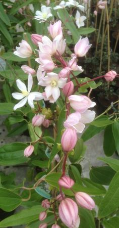 ~clematis armandii appleblossom - one of the most popular evergreen clematis.