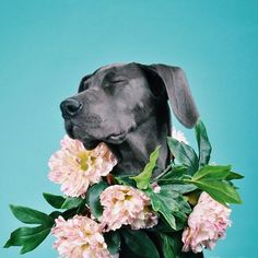 danielodowd:  accordingtofox. lovely Great Dane with a garland