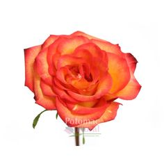 Beautiful High & Magic rose variety, perfect orangy-yellow color for autumn