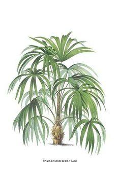 Palm tree print by Pannemaeker of Sabal Palm
