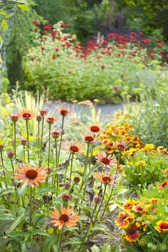 Echinacea and Gaillardia with Mondarda in the background -