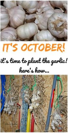 Growing your own garlic is really easy! Just follow these instructions in: How to plant and grow garlic