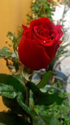 Most Beautiful Rose Hd Wallpaper Free Download Hd Wallpapers