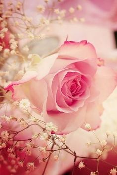 romantic soft pink rose`
