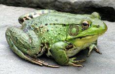 Fat Froggie
