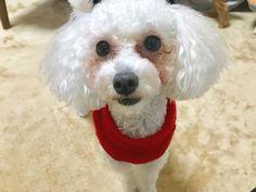 きなこりん♥️涙やけは一生かなあ😭 #犬#わんこ#愛犬#トイプードル#トイプー#ふわもこ部#トイプードル部 #ペットネット#肉球 #gm#ig_dogphoto #dog #mypet #toypoodle #todayswanko #instalike#instadog #dogphotography#bestfriends_dogs