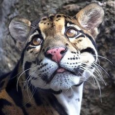 Clouded Leopard. Sweet face. Longest canines per body size of all cats!