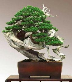 真柏盆栽:Shimpaku-Bonsai