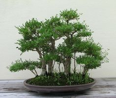 Japanese Boxthorn