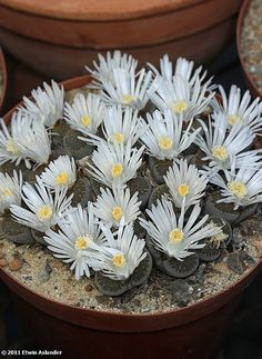 Lithops salicola.  Pretty, all blooming at the same time.