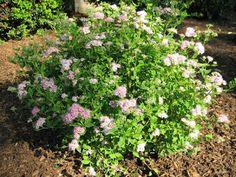 A GUIDE TO NORTHEASTERN GARDENING: Feature Spring Flowering Shrub: Spirea