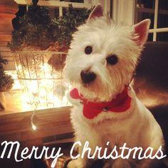 McDuff #westie #christmas
