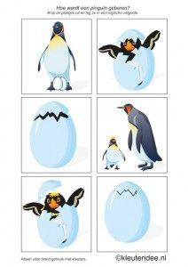 Logische volgorde, de geboorte van een pinguïn, kleuteridee.nl , logical sequence birth of a penguin, free printable.