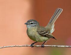 piolhinho_Phyllomyias fasciatus Brazilian Birds
