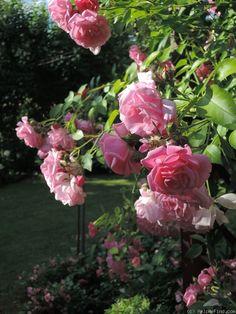 'Fragezeichen ' Rose