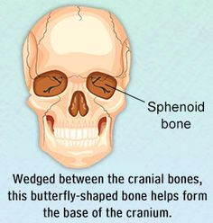sphenoid bone movement – serior – tikuzan, Human Body