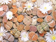 There are many types of landscaping plants in the world today. The genus Lithops is one example. Lithops landscaping plants are native to the warm climates. Succulent Seeds, Cacti And Succulents, Planting Succulents, Planting Flowers, Potted Flowers, Growing Succulents, Cactus Plants, Indoor Water Garden, Home Garden Plants