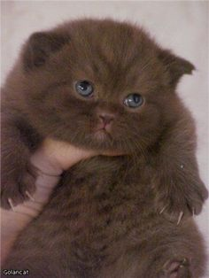 101 Cute and Fluffy Animals for Today  Dummies of the Year Fluffy Animals, Cute Baby Animals, Animals And Pets, Pretty Cats, Beautiful Cats, Animals Beautiful, Kittens And Puppies, Cats And Kittens, Brown Cat