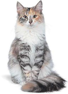 Dog Cat, Fluffy Cat Breeds, Balinese Cat, Cl Fashion, Types Of Cats, Siberian Cat, Norwegian Forest Cat, Maine Coon Cats, Puppies