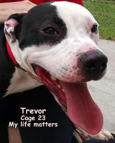 Meet 23 Trevor, a Petfinder adoptable American Bulldog Dog | Canton, OH | Release date 6/8. Trevor, handsome boy, looks like he is sporting some white socks! This young dog...