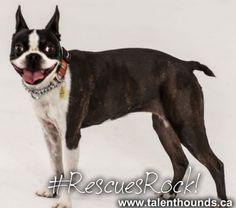 #BostonTerrier rescue